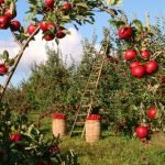 Lets Celebrate the humble Apple, on Apple Day 2020!